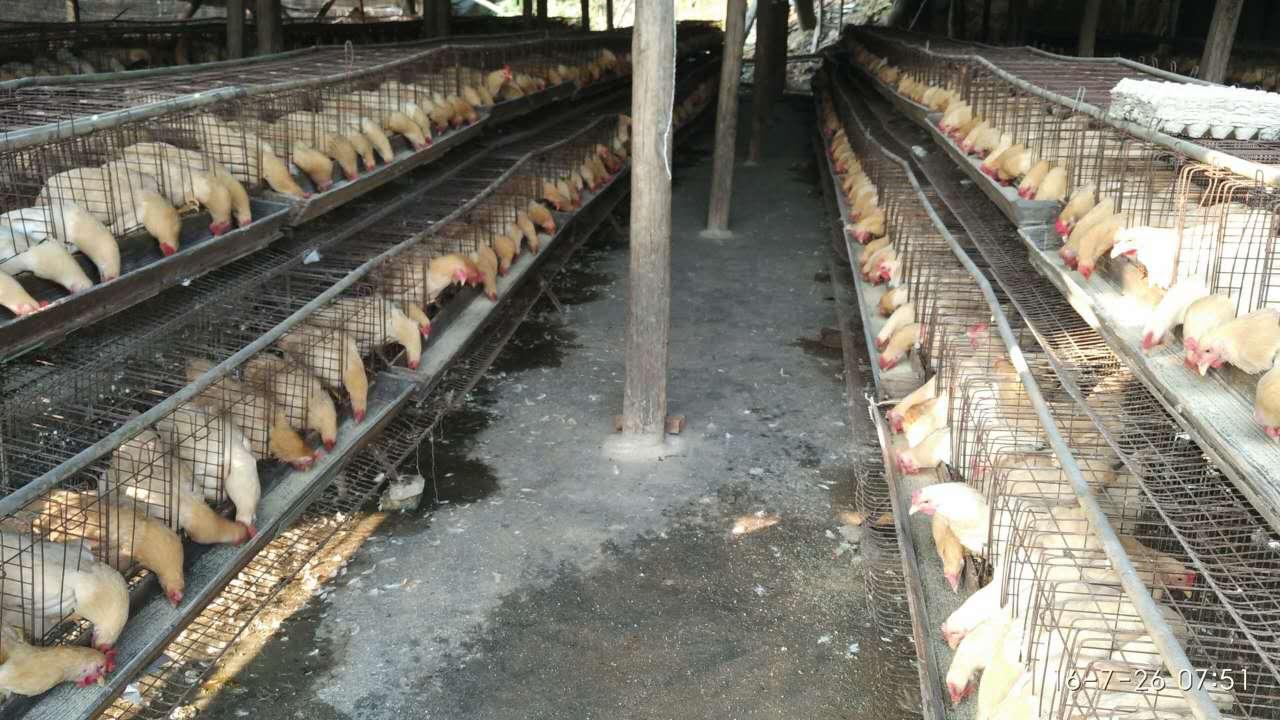 吉水五黑鸡苗养殖厂家回收问题