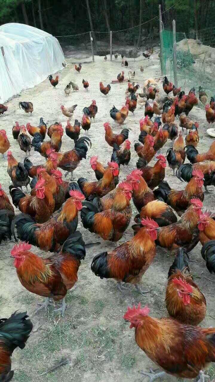 永丰蛋鸡苗市场行情