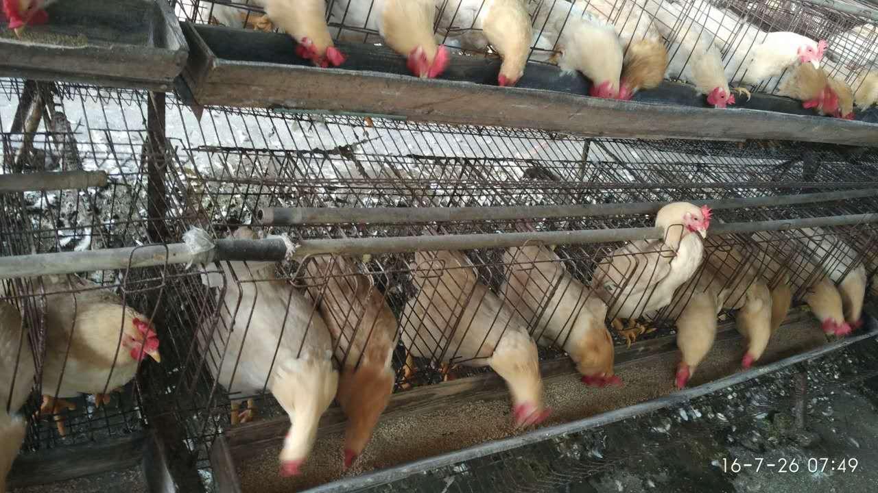临川高产蛋鸡苗批发价格
