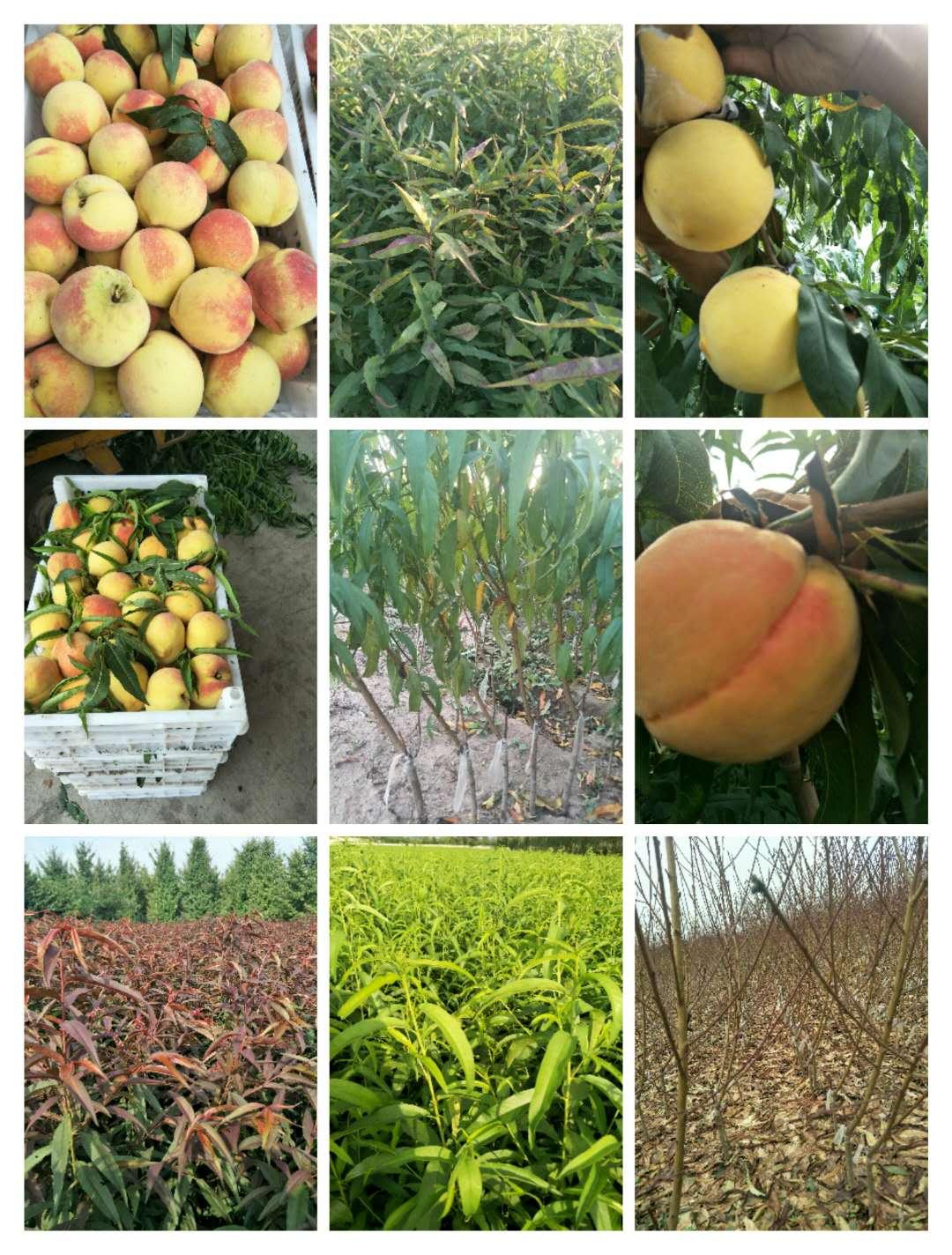 银川市中油21桃品种介绍专业供应商