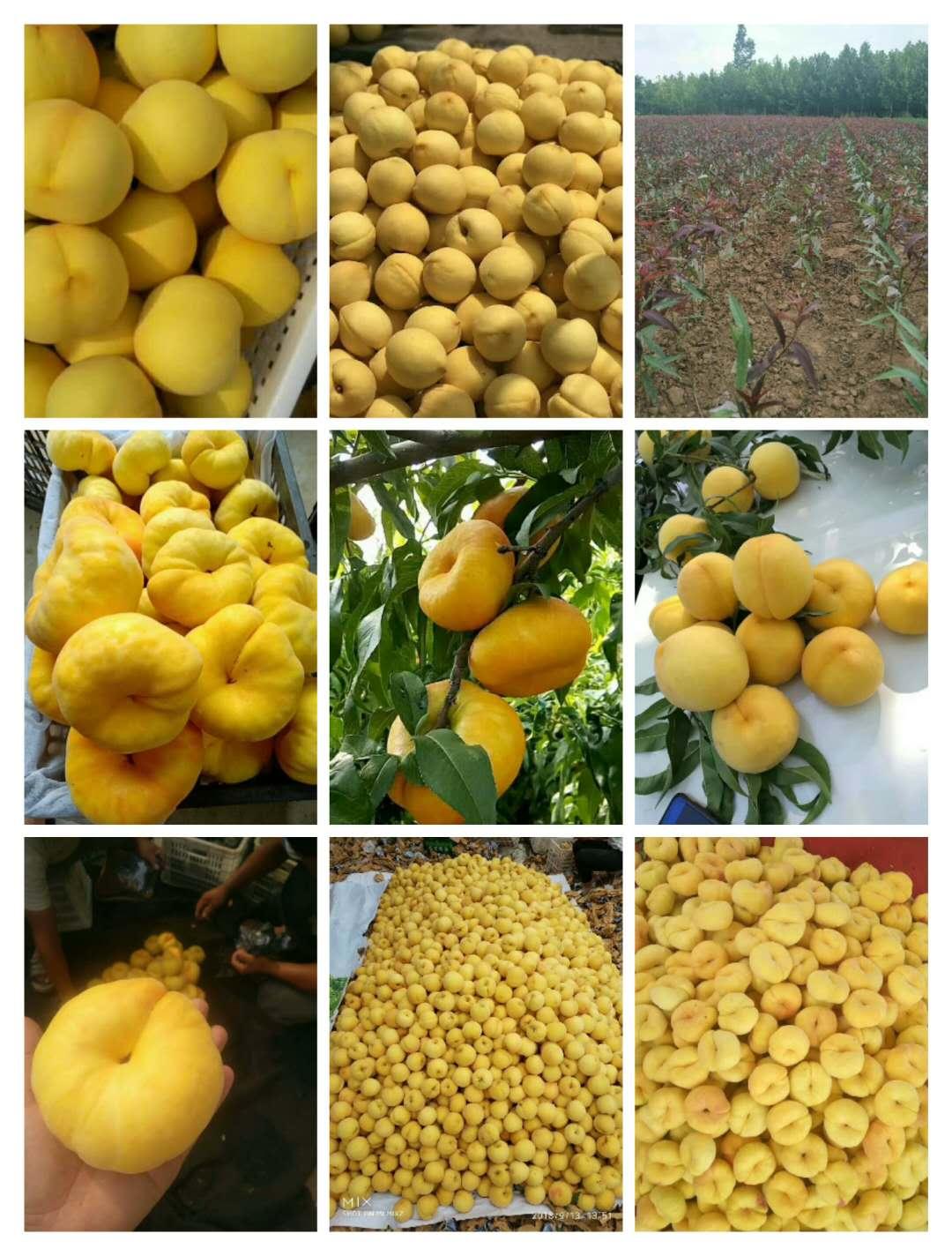 海沧区春丽桃的品质怎样专业供应商