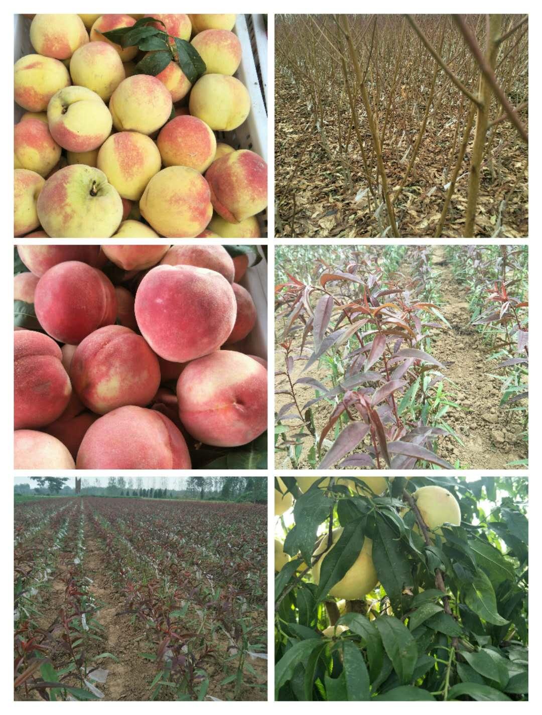 松原早熟的黄金蜜桃品种怎么样_价格优惠_品种大全