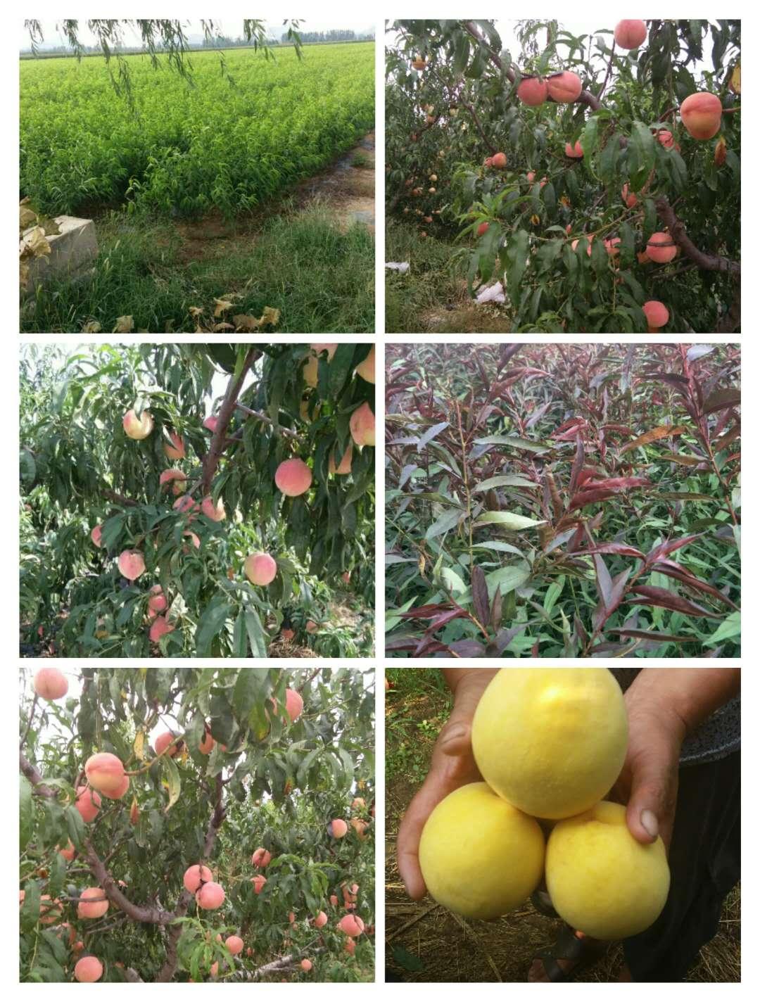江门早熟的黄金蜜桃品种怎么样_种植桃树苗专业供应商