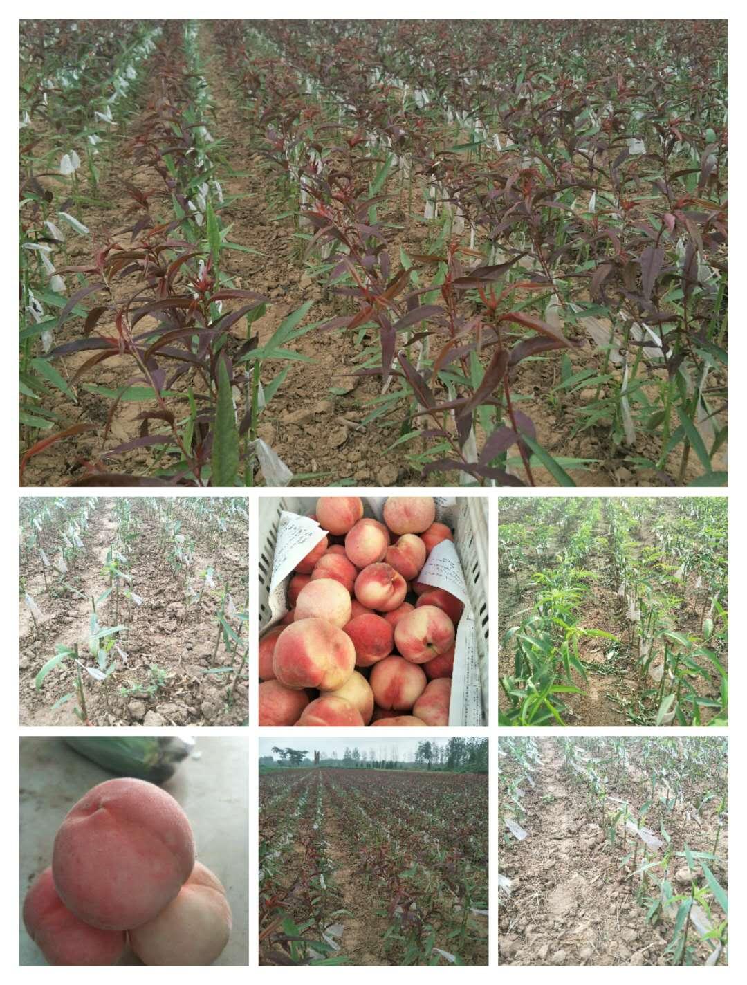 金普新区山东桃树苗品种_价格优惠_品种大全