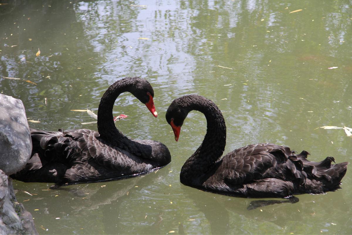 黑天鹅种鹅周边哪里有卖的,景区池塘展览黑天鹅供应商,洪金顺
