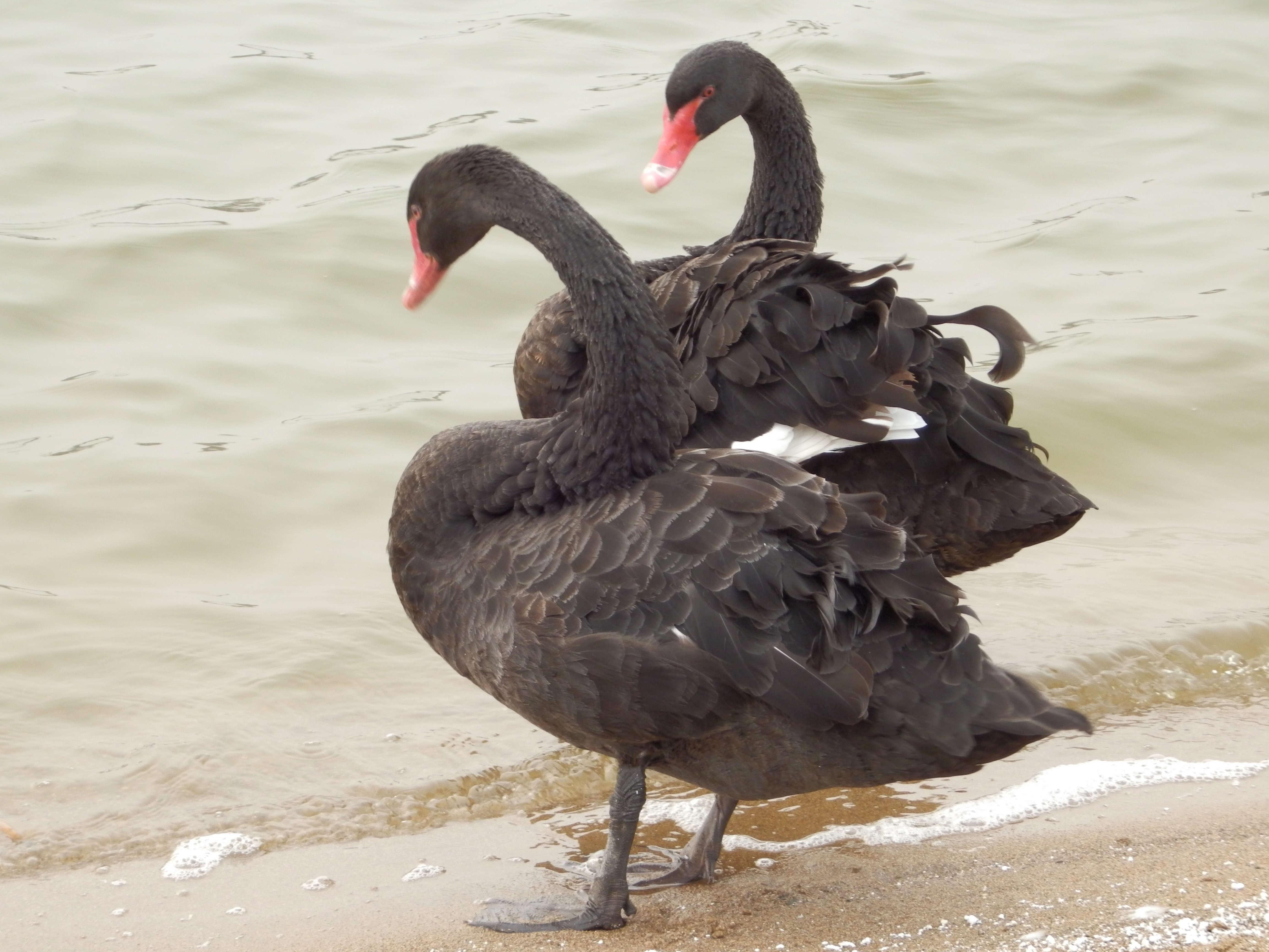 【黑天鹅养殖】韶关黑天鹅养殖_景区黑天鹅出售_洪金顺养殖场