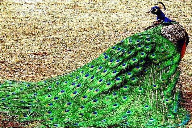喀什地区麦盖提县孔雀养殖场电话