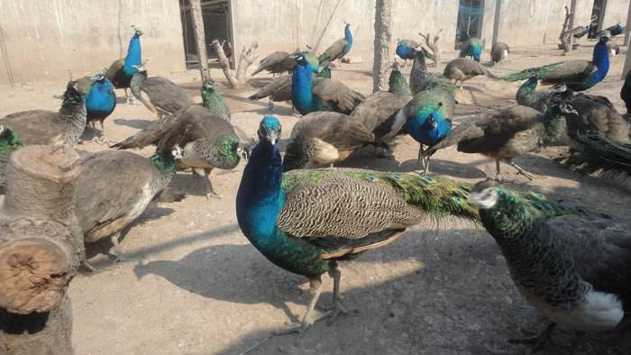 在线解答:蓝孔雀养殖价格&肇庆