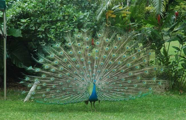 兴安盟蓝孔雀--多少钱
