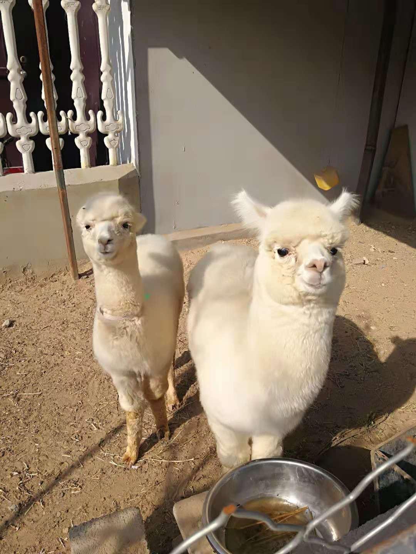 (常年出售)羊驼-散养羊驼-舟山新区羊驼养殖