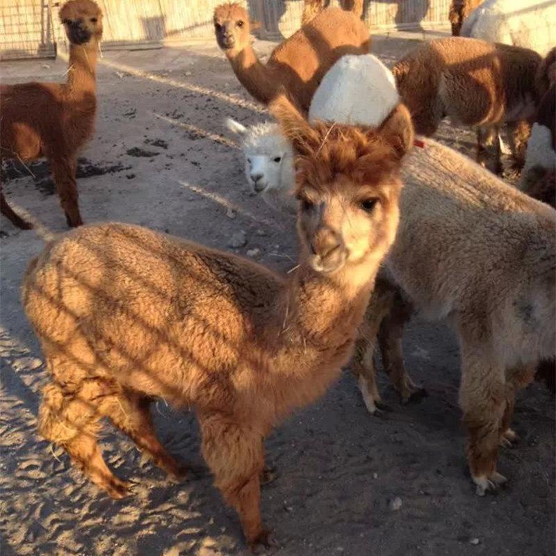 (常年出售)羊驼-动物园观赏羊驼-合肥羊驼养殖基地