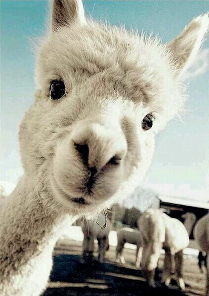 (常年出售)羊驼-半岁羊驼-信阳萌宠羊驼出售