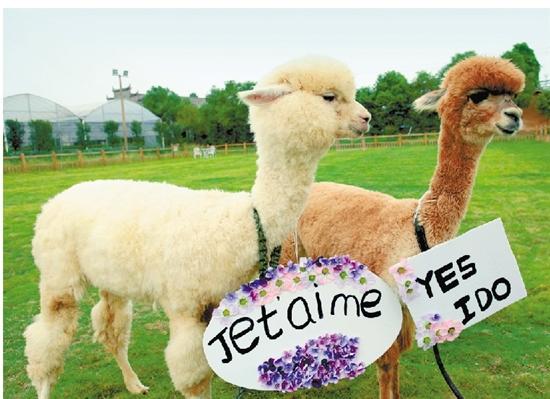 (常年出售)羊驼-旅游观赏羊驼-齐齐哈尔萌宠羊驼批发价格