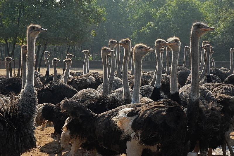 今日热点:鸵鸟苗厂家批发--喀什