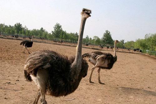 呼伦贝尔鸵鸟养殖基地排名