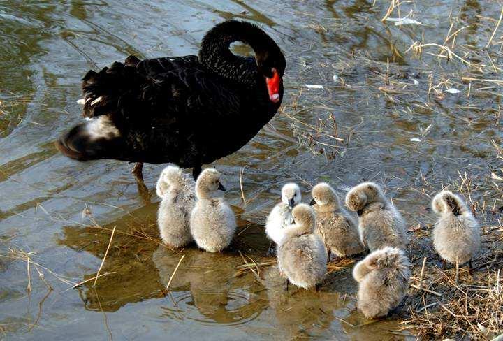 绿春天鹅多少钱一对出售全龄段黑天鹅