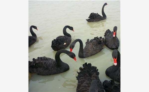 今日上榜:随州黑天鹅养殖方法