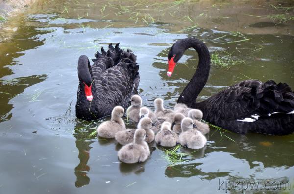 合浦天鹅多少钱一对出售全龄段黑天鹅