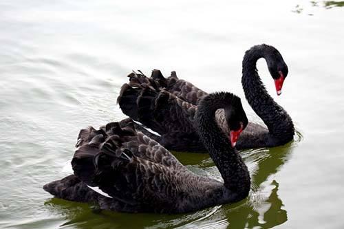 茄子河白天鹅养殖基地出售大小黑天鹅质量保证