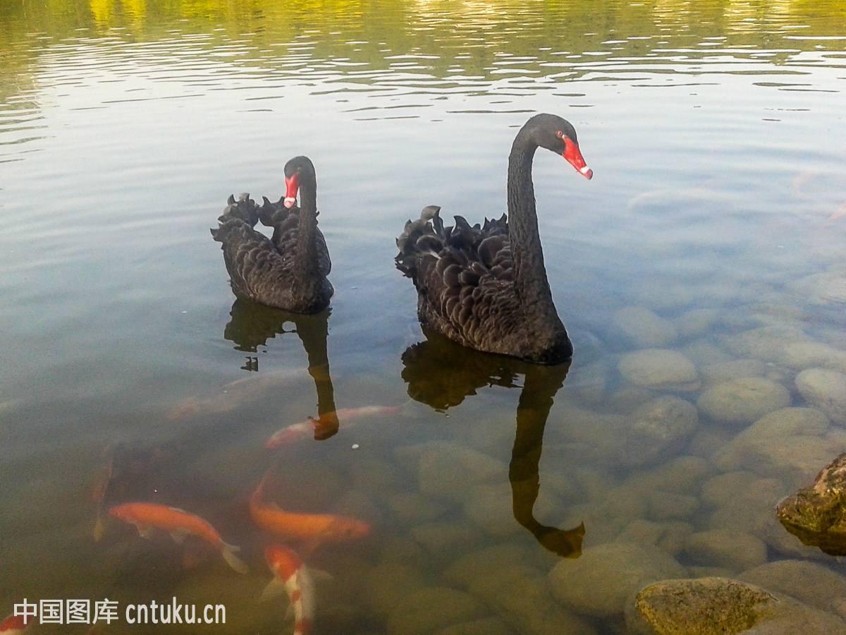 安阳观赏黑天鹅品种