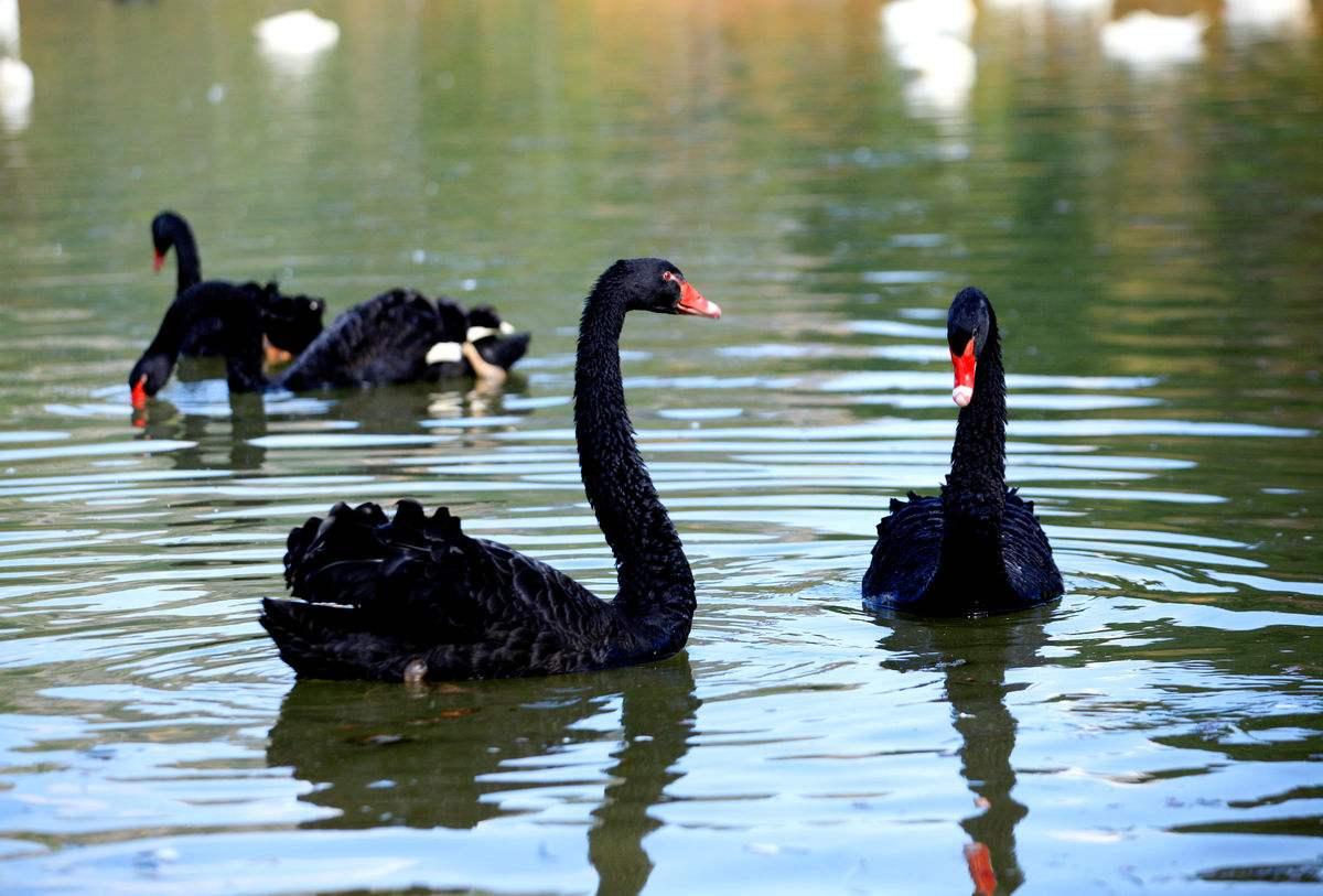 百科:三沙黑天鹅品种多样