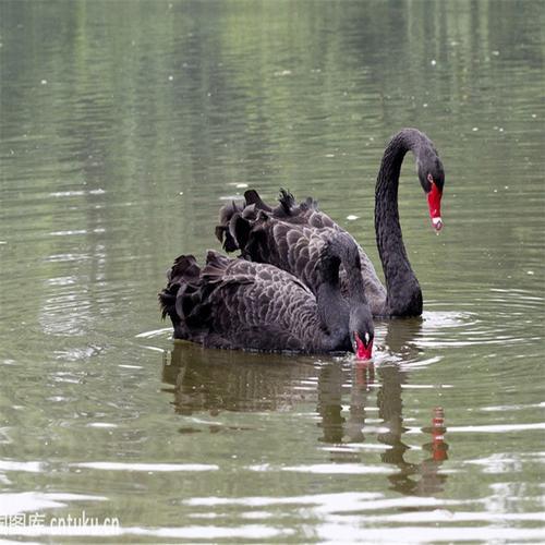好口碑:辽宁黑天鹅养殖基地