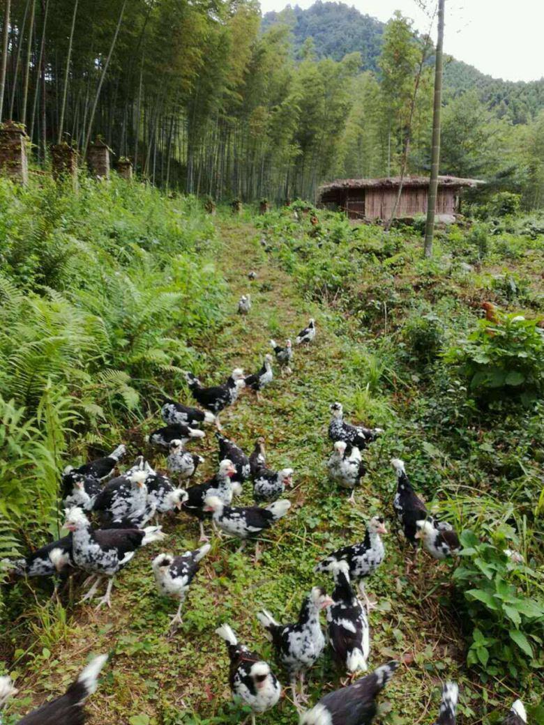 兴国黑番鸭苗孵化厂家