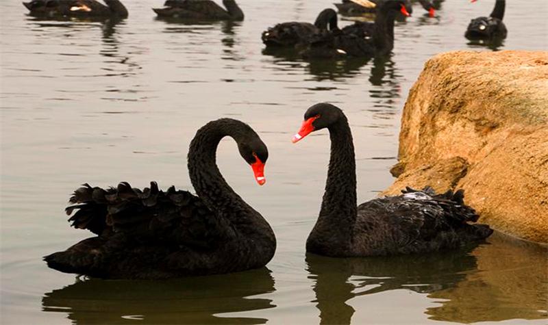 图文:舟山新区黑天鹅多少钱一头