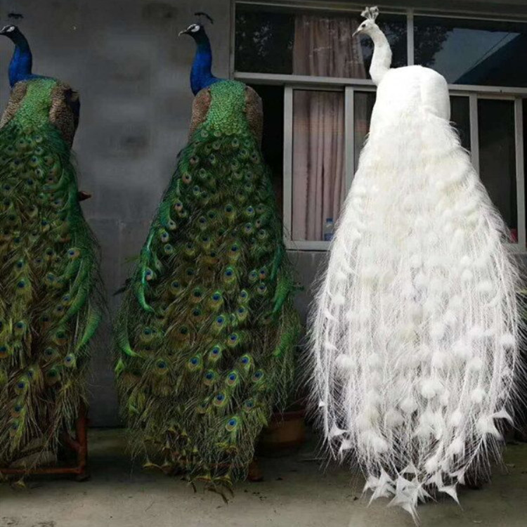 孔雀养殖 常年供应两年的孔雀 成年开屏孔雀养殖求购