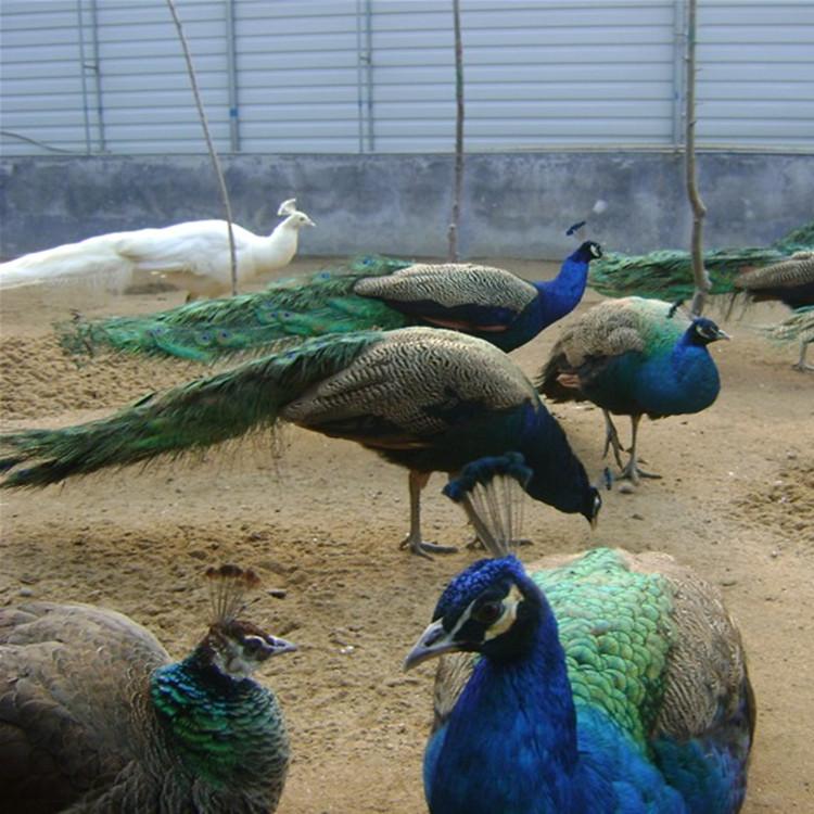 呼伦贝尔市新巴尔虎左旗观赏孔雀成本及利润分析,养孔雀赚钱吗?