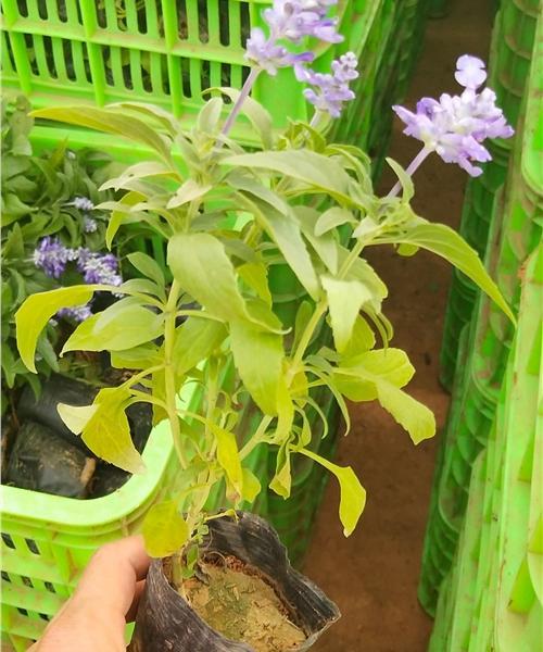山东济宁蓝香芥种植技术