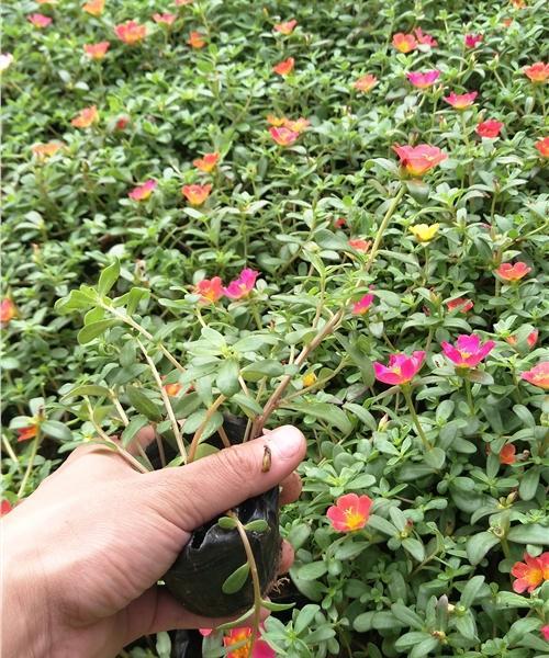 山东东营丰花月季种植指导