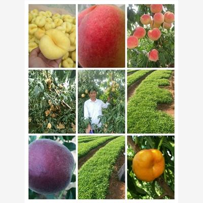 安居区早桃品种专业供应商