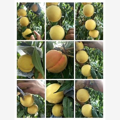 乾安县春丽桃树品种介绍专业供应商