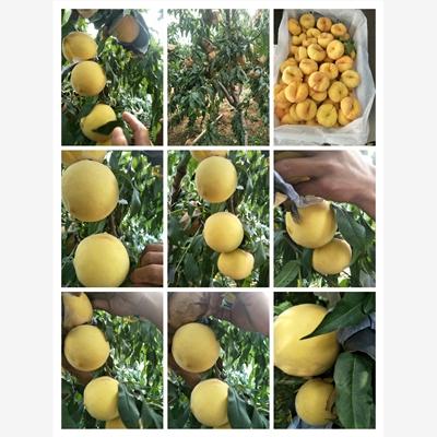 宜兴市黄油桃的营养价值专业供应商