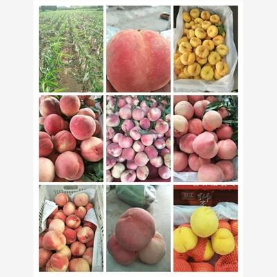 滨海新区春丽桃的品质怎样专业供应商