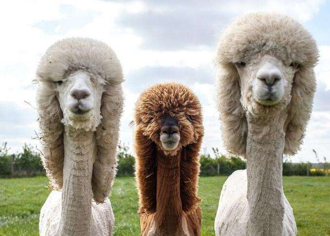 咨询:漳州羊驼品种