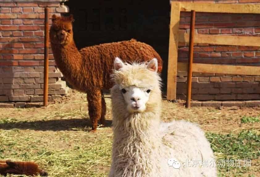 好口碑:遵义羊驼养殖妙招