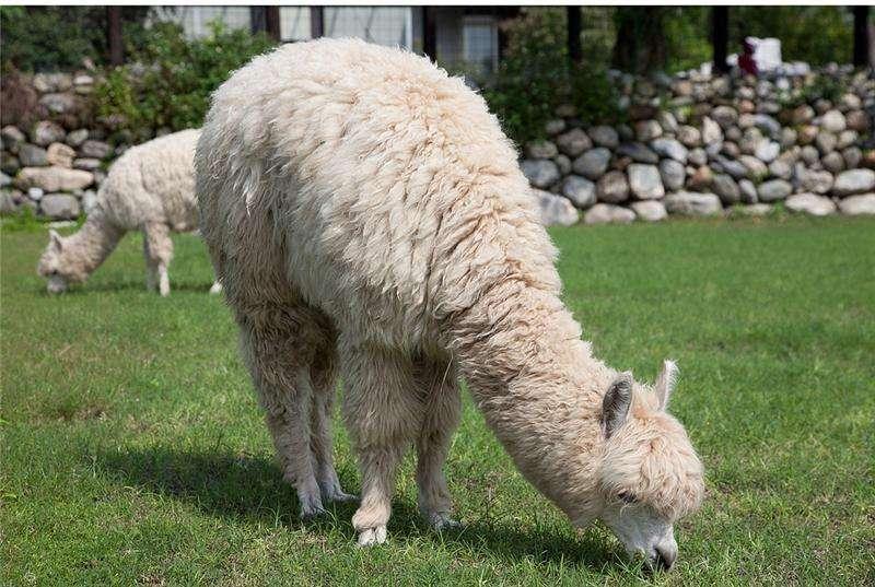 百科:阳泉羊驼品种