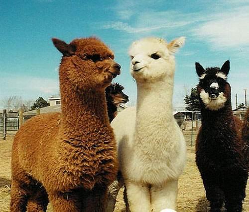 好口碑:惠州羊驼种类齐全