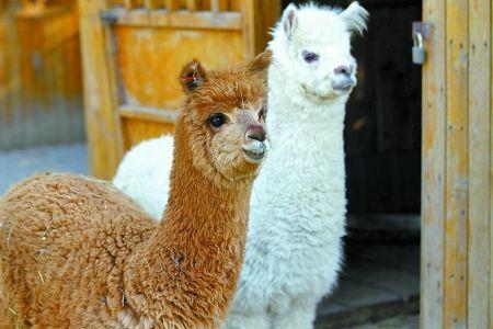 头条:荆州羊驼养殖妙招