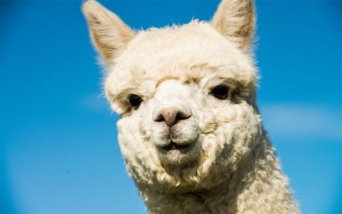 丛台羊驼好不好养哪里有卖的提供驯养证明
