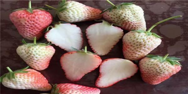 红颜草莓苗种植基地,陕西安康红颜草莓苗