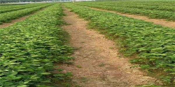 常州杠3草莓苗现挖现卖