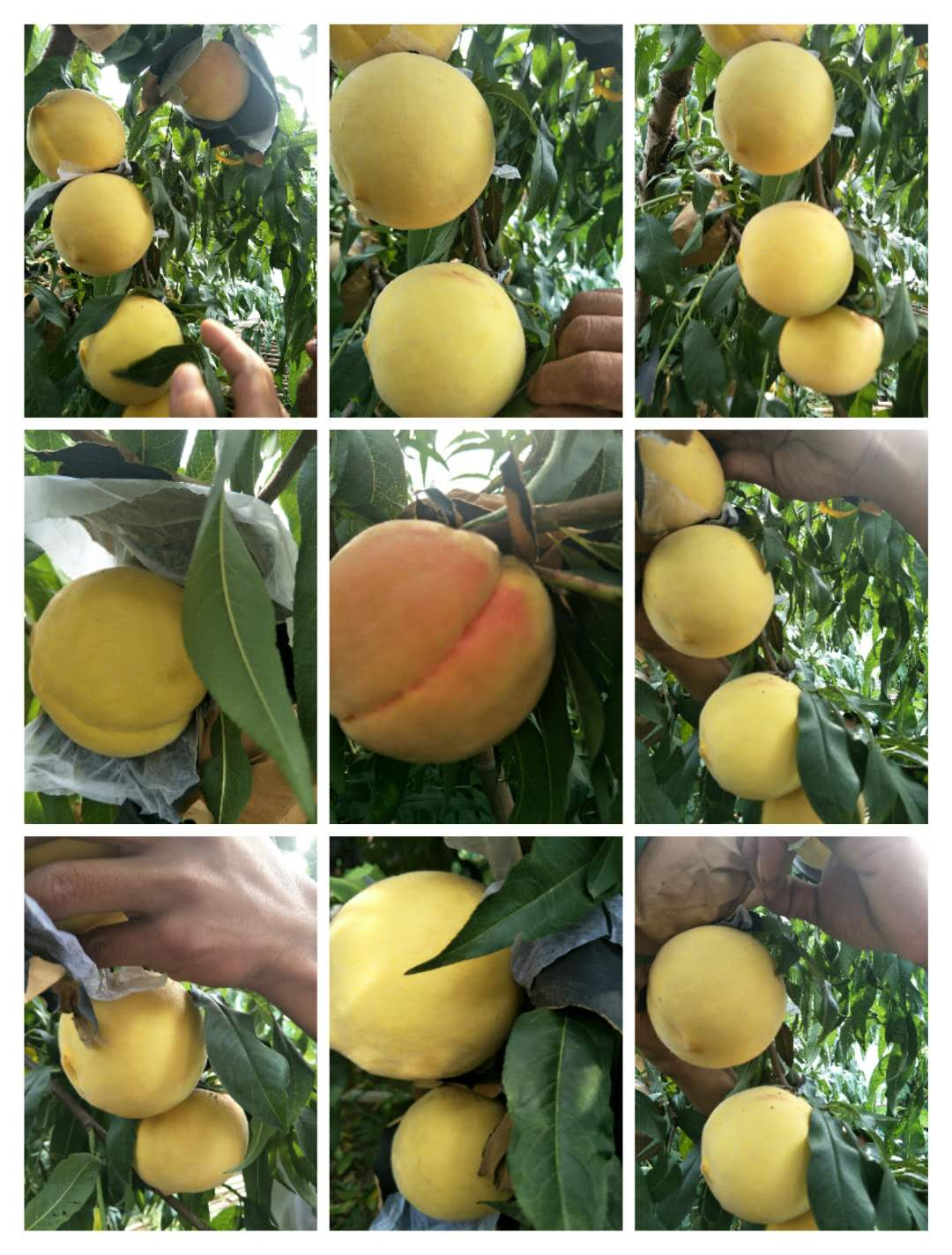 和龙市国庆黄油桃专业供应商