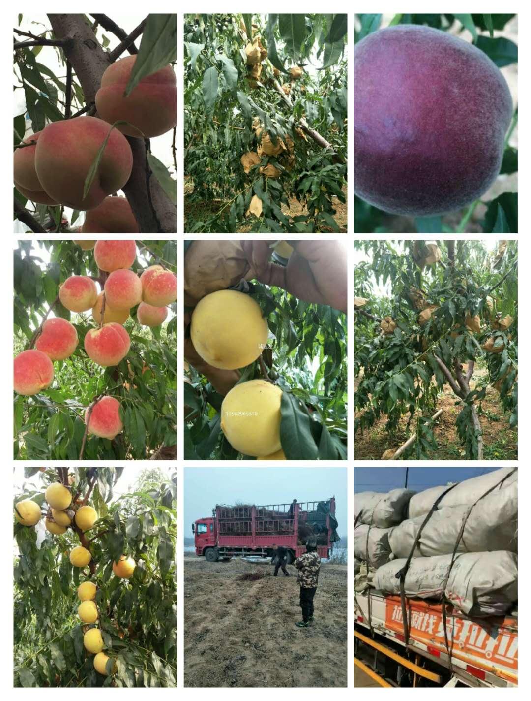 集宁区早桃品种专业供应商