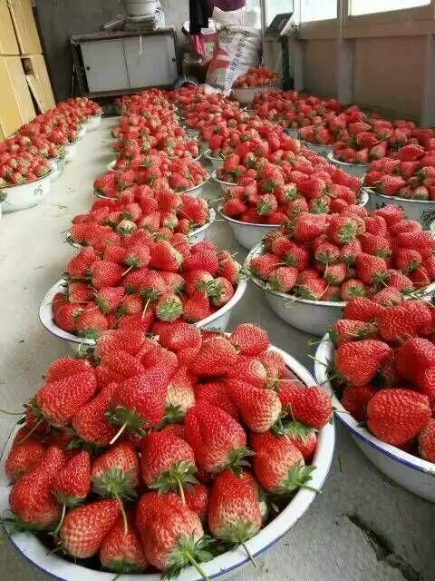 商都宏兴园艺红颜草莓苗联系电话