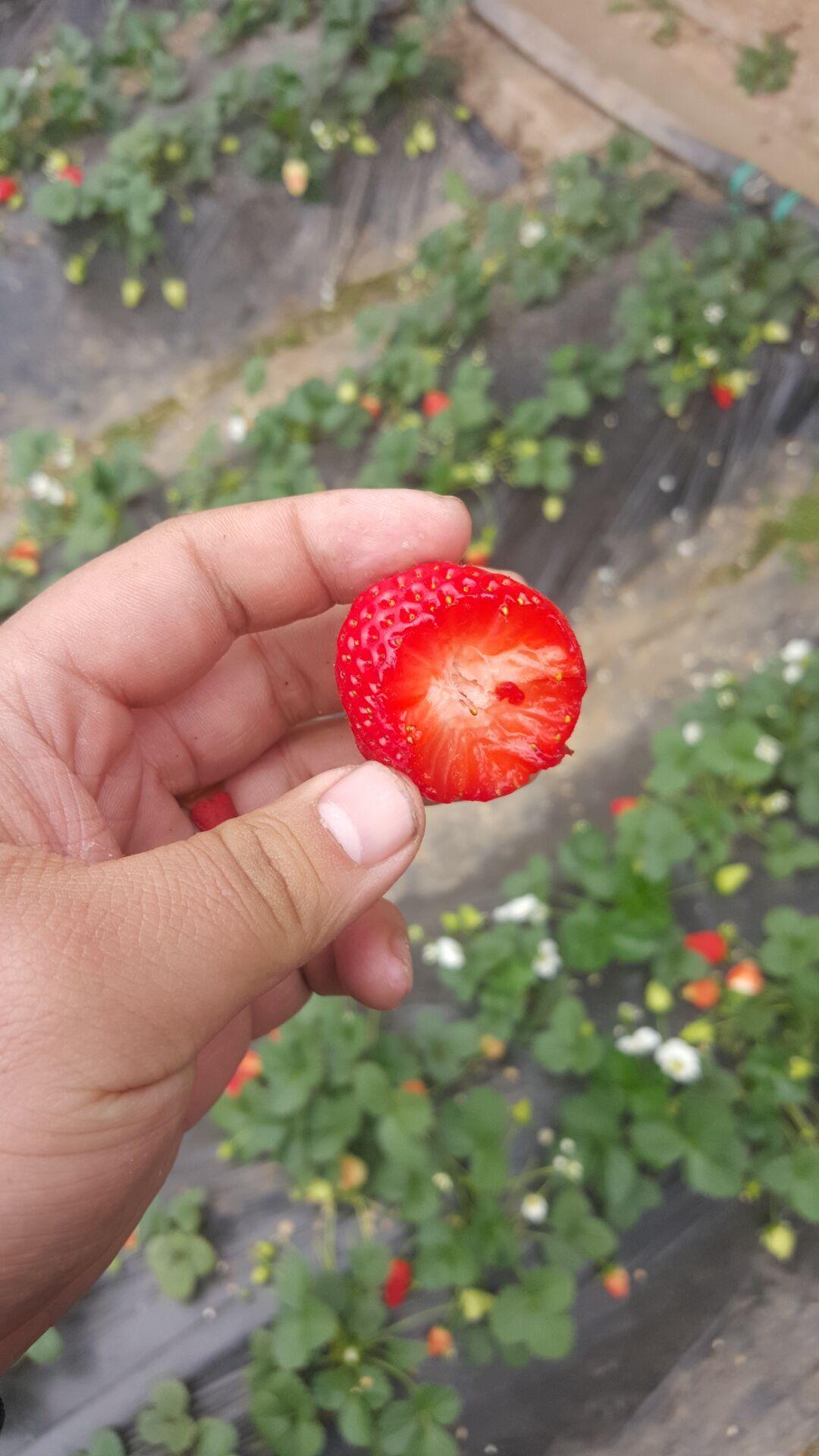 麻涌宏兴园艺甜查理草莓苗耐储存