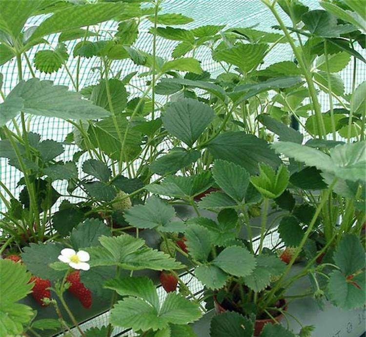 忻城宏兴园艺甜查理草莓苗种植地址