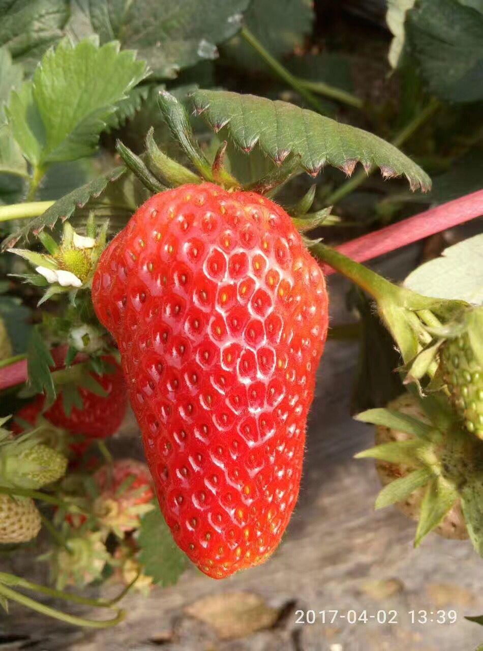 洪湖宏兴园艺甜查理草莓苗缺锰缓救措施